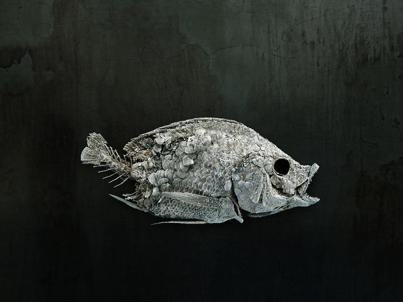 Salton Sea Fish Study #4, Santa Fe, NM, 2010