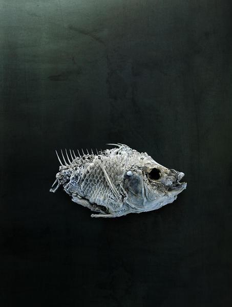 Salton Sea Fish Study #6, Santa Fe, NM, 2010