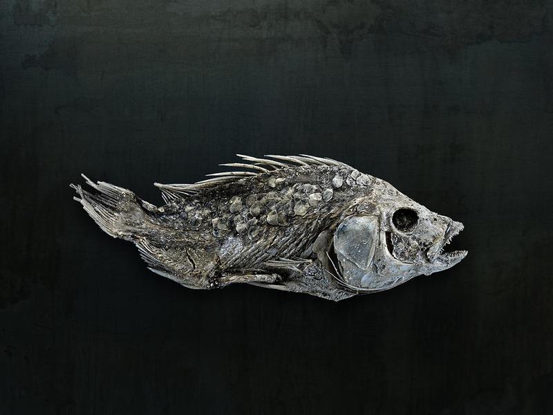 Salton Sea Fish Study #8, Santa Fe, NM, 2010