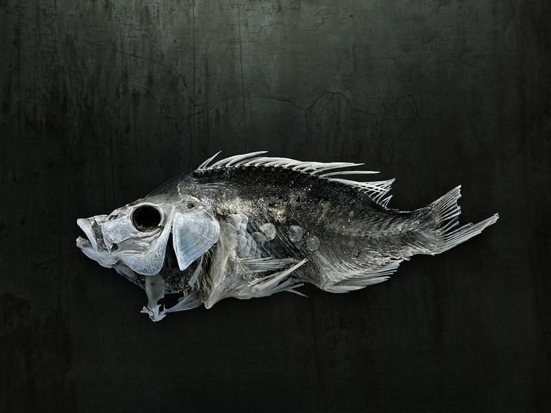 Salton Sea Fish Study #9, Santa Fe, NM, 2010