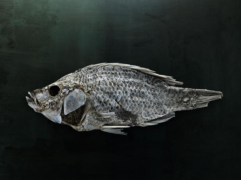Salton Sea Fish Study #20, Santa Fe, NM, 2010