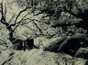 Eastern Gorilla, Wistman's Wood England