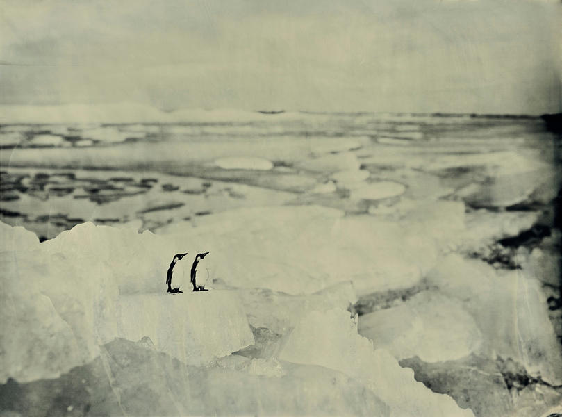 Emperor Penguins, Drift ice Hindeloopen Holland