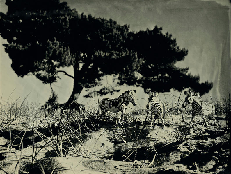 Grevy's Zebra, Soest Holland