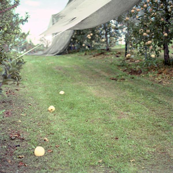 Culled Apples #1, Fall, Aomori Prefecture