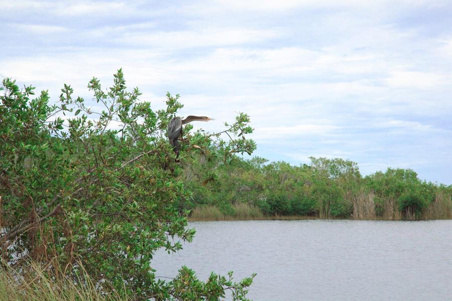 Anhinga, Florida Everglades, 2010