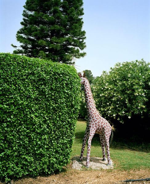 Giraffe on Lawn, Hula Valley, Israel, 2012