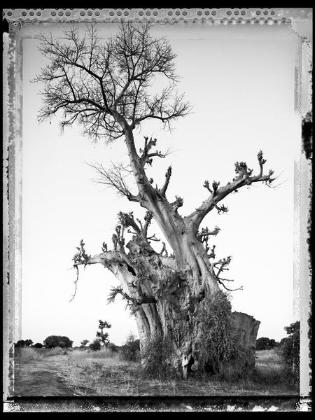 Baobab, Tree of Generations 6, Mali 2008