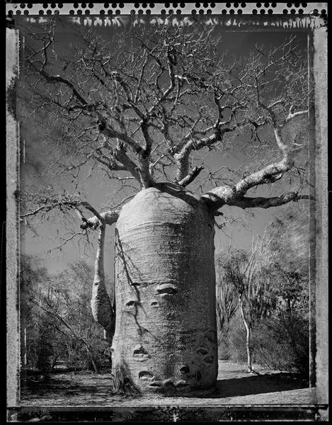 Baobab, Tree of Generation 21, Madagascar 2010