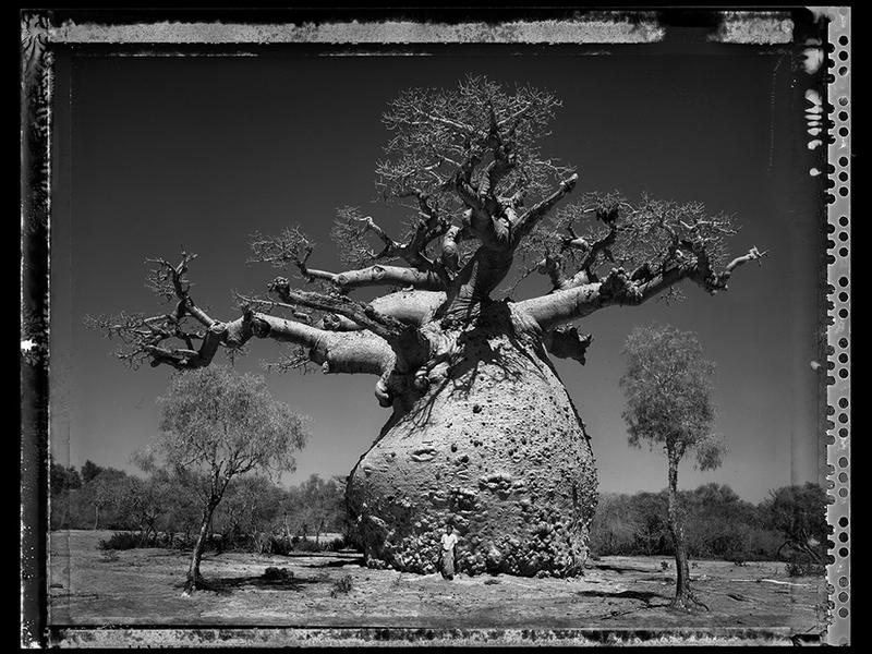 Baobab, Tree of Generation 29, Madagascar 2010