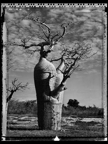 Baobab, Tree of Generation 31, Madagascar 2010
