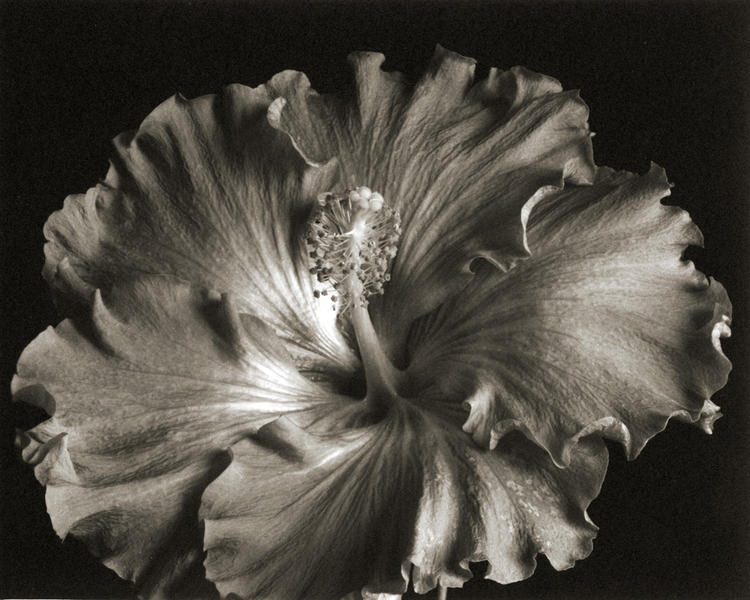 Hibiscus Morning, Platinum/Palladium print