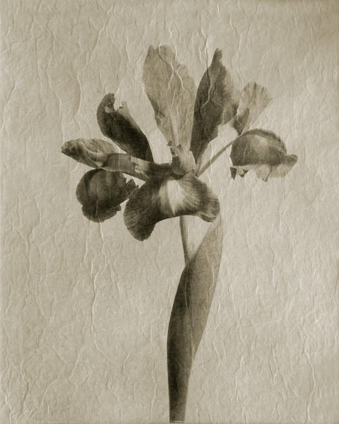 Iris, Platinum/Palladium print on Gampi paper