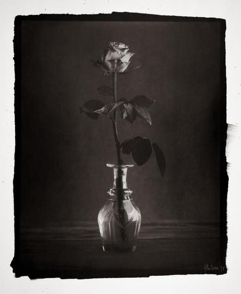 Rose, study no. 1