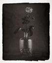 Rose & Coquillages