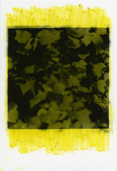 Ivy, Ebers Road (yellow)