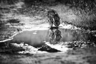 from Wild etiquette seties, Bobcat