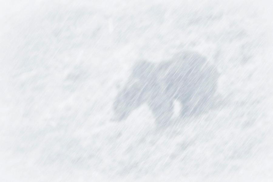 Snow. Cold. Wind. Bear. Undisturbed.