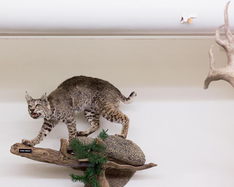 Texas Bobcat; Mount Angel Abbey Museum, Saint Bene