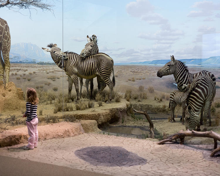 Zebras; Carnegie Museum of Natural History, Pittsb