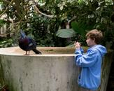 Victoria Crowned Pigeon; The National Aviary, Pitt