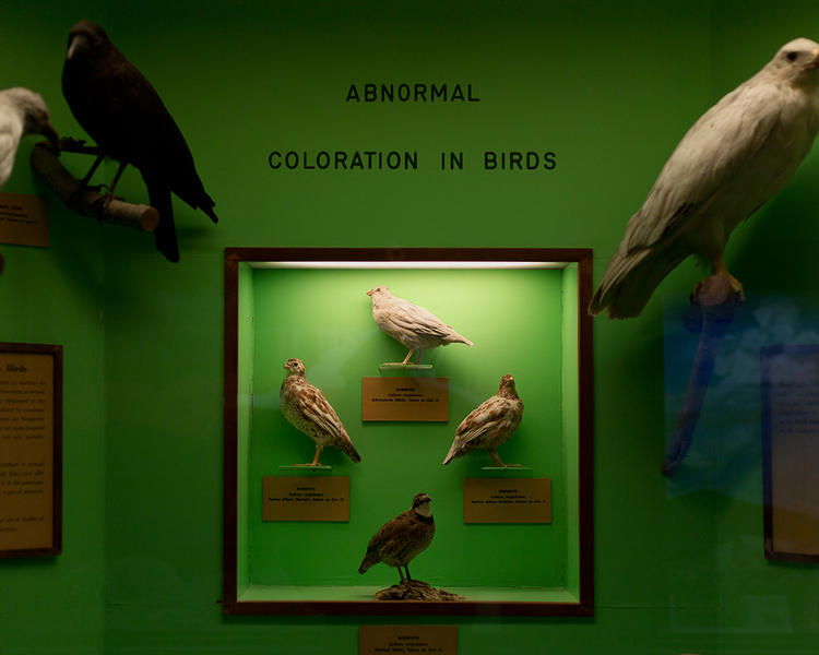 Abnormal Coloration in Birds; University of Kansas