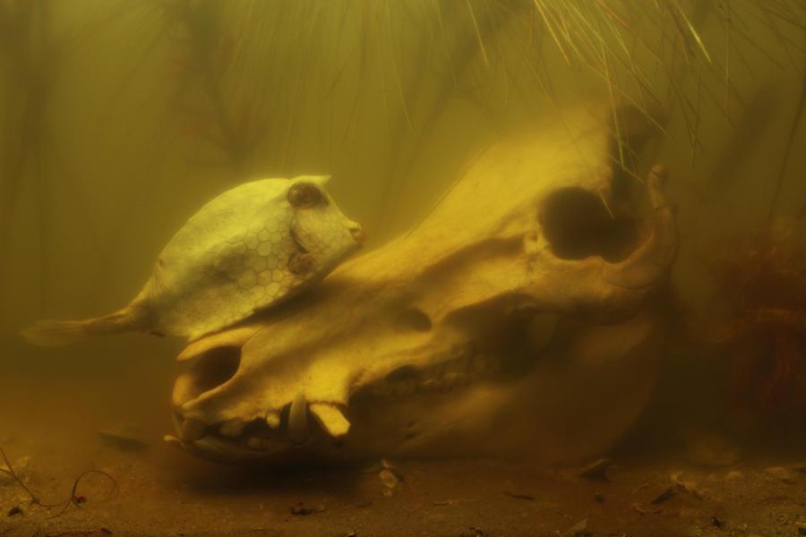 Boar & Cowfish
