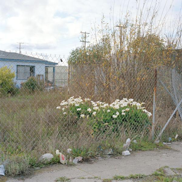 Calla Lilies, 2009