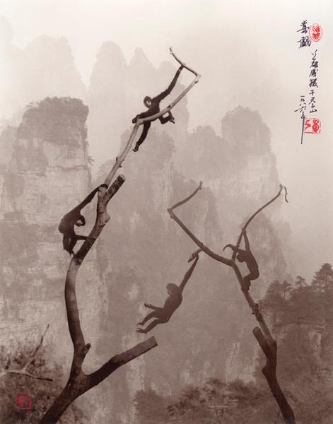 Gibbons at Play, Tianzi Mountain 1985