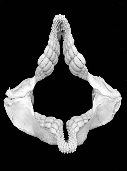 Portjackson Shark Jaws