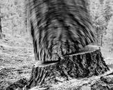 Falling Tree #24, McCloud, CA 2010