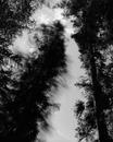 Falling Tree #11, Scotts Valley, CA 1987