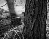 Falling Tree #15, McCloud, CA 2009
