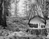 Falling Tree #26 McCloud CA, 2010