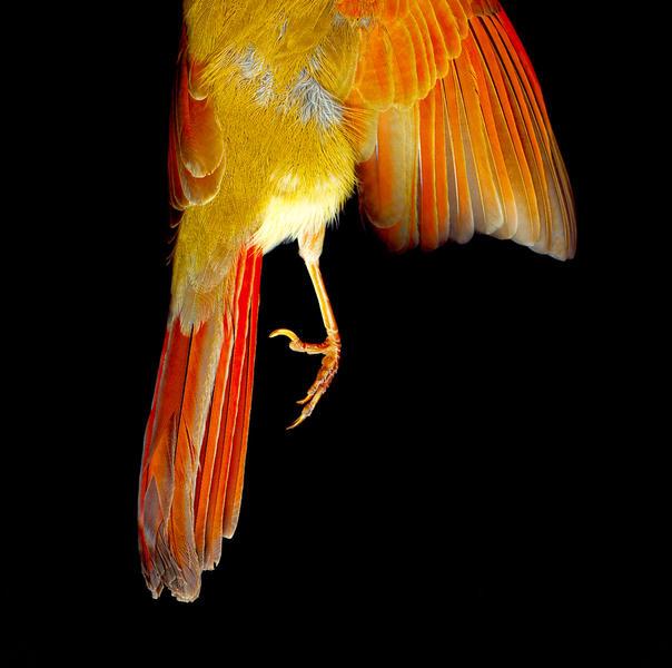 Cardinal Foot
