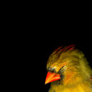 Cardinal Head 1