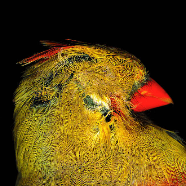 Cardinal Head 2