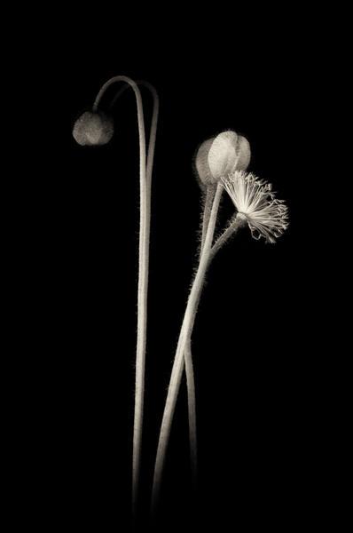 Poppy #447