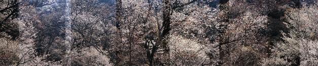 Sakura no. 11