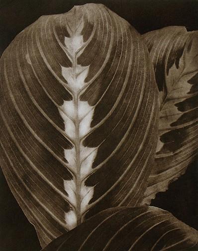 untitled(Maranta), 1990, copperplate gravure