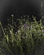 Boreas' Wildflowers, 2013