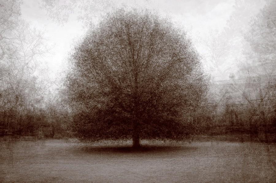 Spring Grove White Oak