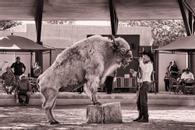 White Buffalo, New Mexico State Fair, 2012