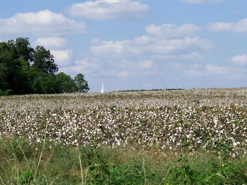 Cotton Field with Steeple