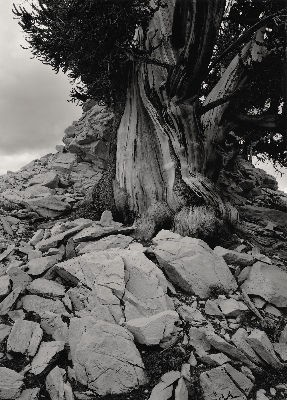 Dark Tree at the Summit, 1988