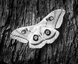 Oculea silkmoth