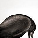 Crow Arc