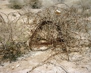 Barbed Wire Bush, Dead Sea, Israel