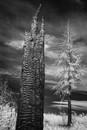 Charcoal Tree