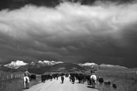 Cattle Drive Wilsal Montana